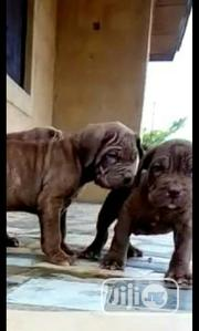 Baby Female Purebred Neapolitan Mastiff | Dogs & Puppies for sale in Oyo State, Lagelu