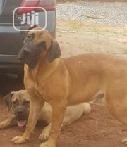Young Male Purebred Boerboel | Dogs & Puppies for sale in Edo State, Oredo