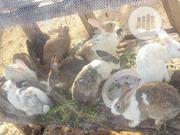 Rabit Male & Female | Other Animals for sale in Kwara State, Ilorin East