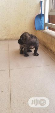 Young Male Purebred Boerboel | Dogs & Puppies for sale in Oyo State, Ibadan North East