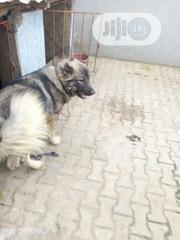 Young Male Purebred Caucasian Shepherd Dog | Dogs & Puppies for sale in Ogun State, Obafemi-Owode