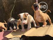 Baby Male Purebred American Pit Bull Terrier | Dogs & Puppies for sale in Oyo State, Egbeda