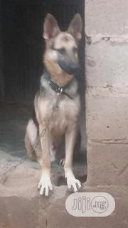 Adult Male Purebred German Shepherd Dog | Dogs & Puppies for sale in Oyo State, Lagelu