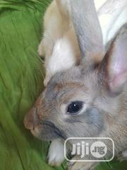 GOE Animals - Matured Rabbits For Sale Now   Livestock & Poultry for sale in Ondo State, Akure