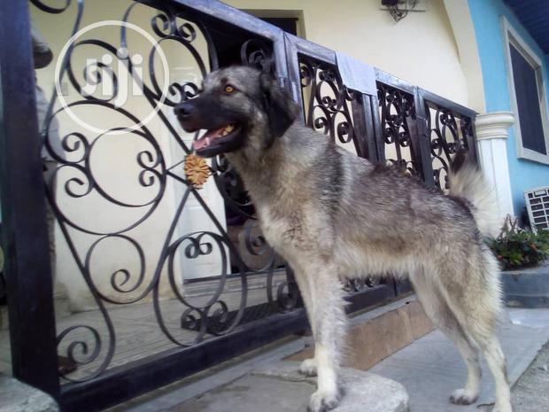Archive: Adult Female Purebred Caucasian Shepherd Dog