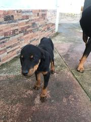 Young Female Purebred Rottweiler | Dogs & Puppies for sale in Edo State, Ikpoba-Okha