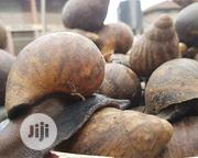 Giant Snail For Sale Call Me On | Reptiles for sale in Edo State, Okada