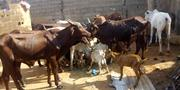 Cow For Sale | Livestock & Poultry for sale in Lagos State, Ikeja