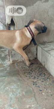 Baby Male Purebred Boerboel   Dogs & Puppies for sale in Oyo State, Ibadan South West