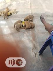 Baby Female Purebred Boerboel | Dogs & Puppies for sale in Oyo State, Ibadan South East