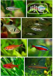 Tetra Fish With Beautiful Colours | Fish for sale in Lagos State, Surulere
