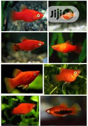 Platy Fish For You   Fish for sale in Lagos State, Surulere