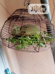 Chameleons For Sale | Reptiles for sale in Delta State, Ugheli