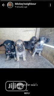 Young Female Purebred German Shepherd Dog | Dogs & Puppies for sale in Oyo State, Ibadan North East