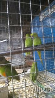 Parakeet Parrot For Sale | Birds for sale in Lagos State, Lagos Mainland