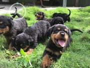 Baby Female Purebred Rottweiler | Dogs & Puppies for sale in Edo State, Benin City