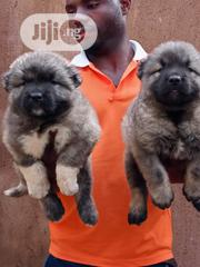 Young Female Purebred Caucasian Shepherd Dog | Dogs & Puppies for sale in Lagos State, Ikeja
