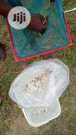 All Male Tilapia Fingerlings | Fish for sale in Epe, Lagos State, Nigeria