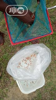 All Male Tilapia Fingerlings | Fish for sale in Lagos State, Epe