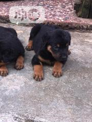 Baby Female Purebred Rottweiler | Dogs & Puppies for sale in Lagos State, Lekki Phase 1