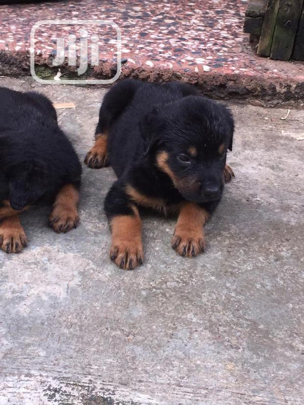 Archive: Baby Female Purebred Rottweiler