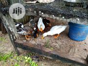 Foreign Ducks For Sale | Birds for sale in Kaduna State, Zaria