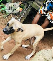 Young Female Purebred Boerboel | Dogs & Puppies for sale in Edo State, Ovia North East