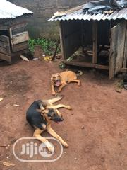Adult Male Purebred German Shepherd Dog | Dogs & Puppies for sale in Edo State, Ikpoba-Okha
