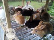 WEEKEND'S BONANZA......Rabbits For Sale | Other Animals for sale in Oyo State, Ibadan
