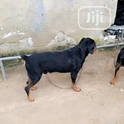 Adult Male Purebred Rottweiler | Dogs & Puppies for sale in Delta State, Ughelli North