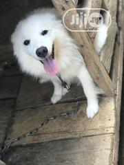 Adult Male Purebred Samoyed | Dogs & Puppies for sale in Oyo State, Ibadan North