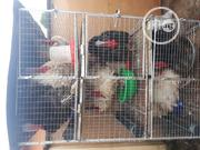 9 Males & 1 Female Adul Indigenous Up Turkeys For Sale | Livestock & Poultry for sale in Lagos State, Agege
