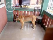 Adult Male Purebred Boerboel | Dogs & Puppies for sale in Rivers State, Port-Harcourt
