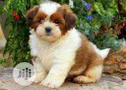 Baby Male Purebred Lhasa Apso | Dogs & Puppies for sale in Lagos State, Kosofe