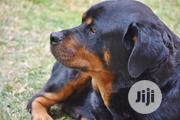 Baby Male Purebred Rottweiler | Dogs & Puppies for sale in Edo State, Ikpoba-Okha