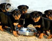 Baby Male Purebred Rottweiler | Dogs & Puppies for sale in Enugu State, Nkanu West