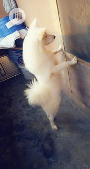 Adult Male Purebred American Eskimo Dog | Dogs & Puppies for sale in Lagos State, Shomolu