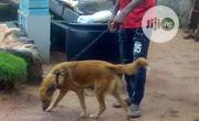 Young Female Purebred German Shepherd Dog | Dogs & Puppies for sale in Edo State, Ikpoba-Okha