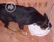 Young Male Purebred Rottweiler | Dogs & Puppies for sale in Ondo State, Ondo West