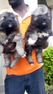 Young Female Purebred Caucasian Shepherd Dog | Dogs & Puppies for sale in Lagos State, Ifako-Ijaiye