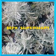 Lavender Seedlings Or Lavender Seeds | Feeds, Supplements & Seeds for sale in Plateau State, Jos South