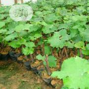 Organic Grape Seedlings Or Grape Seeds | Feeds, Supplements & Seeds for sale in Lagos State, Victoria Island