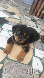 GUARD DOG/ Boxhead Rottweiler Puppy | Dogs & Puppies for sale in Lagos State, Ikeja