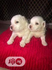Baby Male Purebred Lhasa Apso | Dogs & Puppies for sale in Rivers State, Obio-Akpor