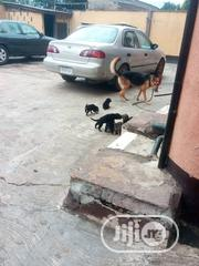 Baby Female Purebred German Shepherd Dog   Dogs & Puppies for sale in Lagos State, Alimosho