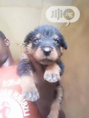 Baby Male Purebred Rottweiler | Dogs & Puppies for sale in Oyo State, Ido