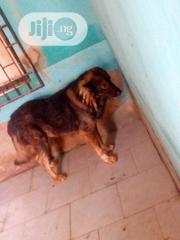 Adult Male Purebred Caucasian Shepherd Dog | Dogs & Puppies for sale in Oyo State, Ibadan North West
