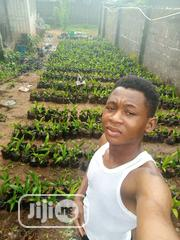 Nursed Palm | Feeds, Supplements & Seeds for sale in Delta State, Ndokwa West