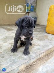 Baby Male Purebred Boerboel | Dogs & Puppies for sale in Lagos State, Ikeja