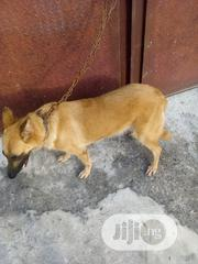 Adult Female Purebred German Shepherd Dog   Dogs & Puppies for sale in Lagos State, Ojo